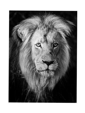 Lion-King-Fotografia
